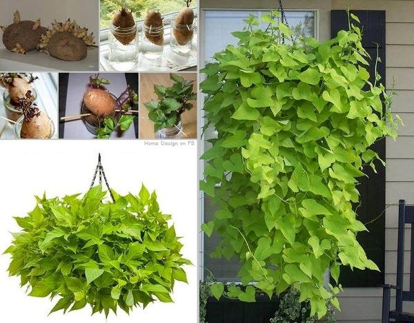 How to Grow A Potato Vine Plant How to Grow A Potato Vine Plant