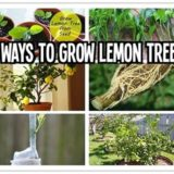 Wonderful DIY 6 Ways To Grow Lemon Trees
