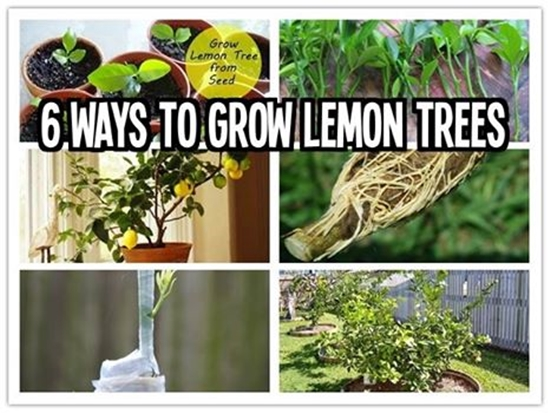 6 ways to grow lemon trees