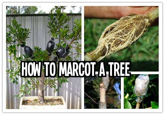How to marcot a tree step  Wonderful DIY 6 Ways To Grow Lemon Trees