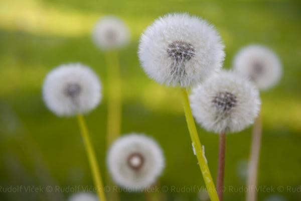 dandelion R1 Wonderful DIY Pretty Yarn Dandelions