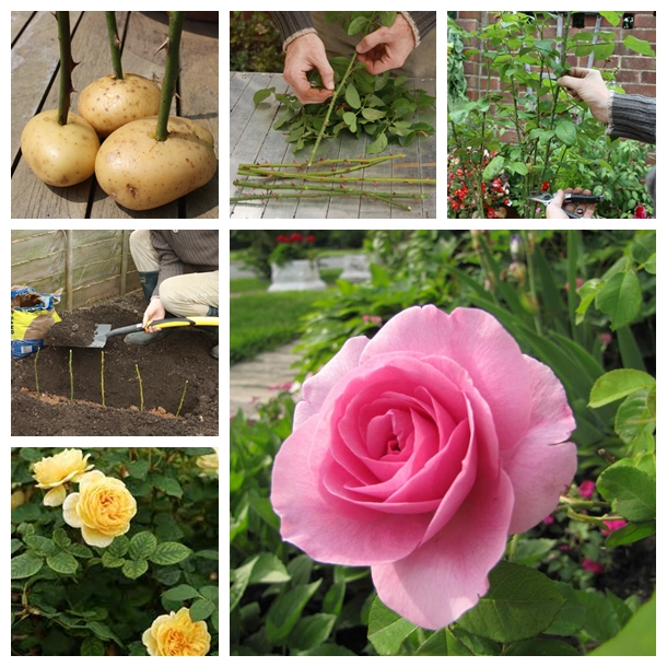 Propagate Roses On Potatoes F How to Grow Rose On Potatoes from Cutting