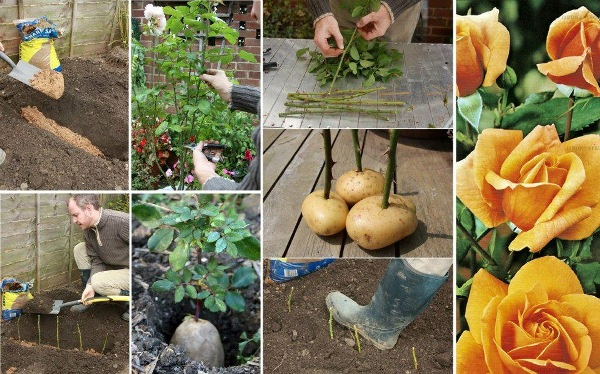 How To Grow Rose On Potatoes From Cutting