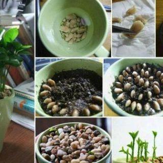 How To Grow Indoor Lemon Seeds  In a Pot