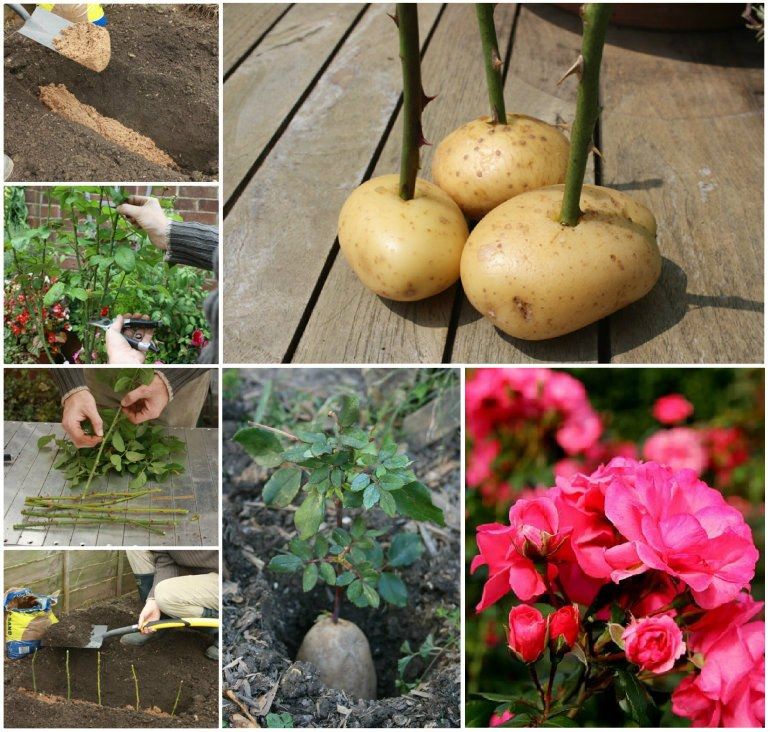 How To Grow Roses In Potatoes wonderfuldiy How to Grow A Potato Vine Plant