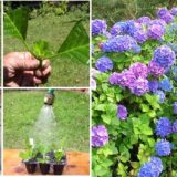 How to Grow Hydrangeas from Cutting