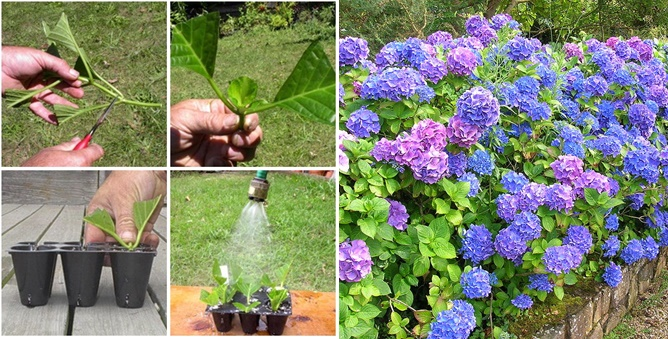 How to Grow Hydrangeas wonderfuldiy f How To Grow Indoor Lemon Seeds  In a Pot