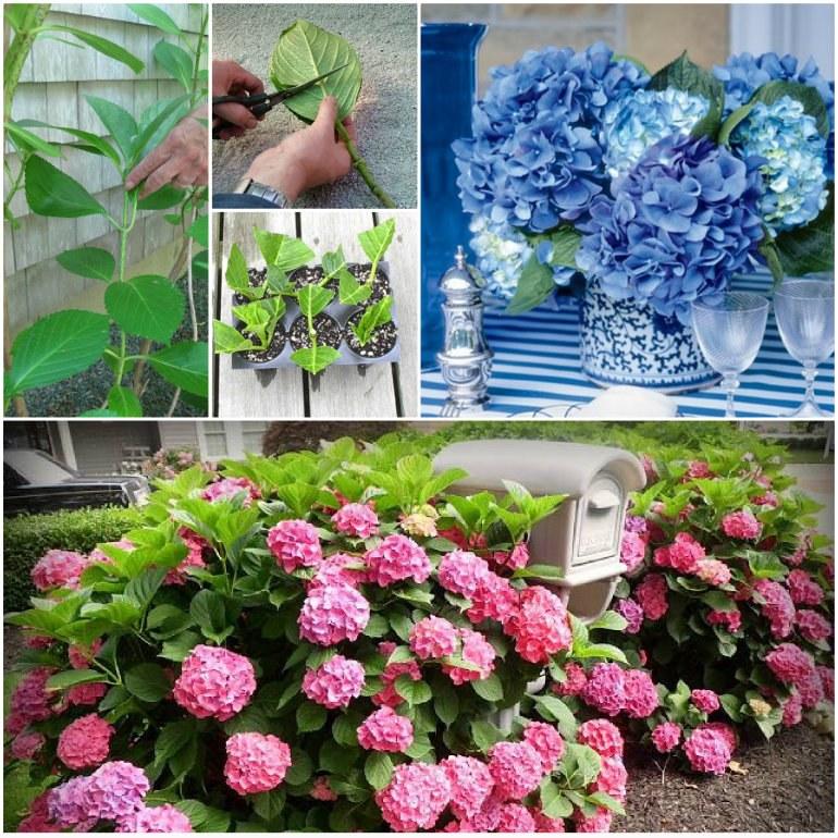 How-to-Grow-Hydrangeas-wonderfuldiy