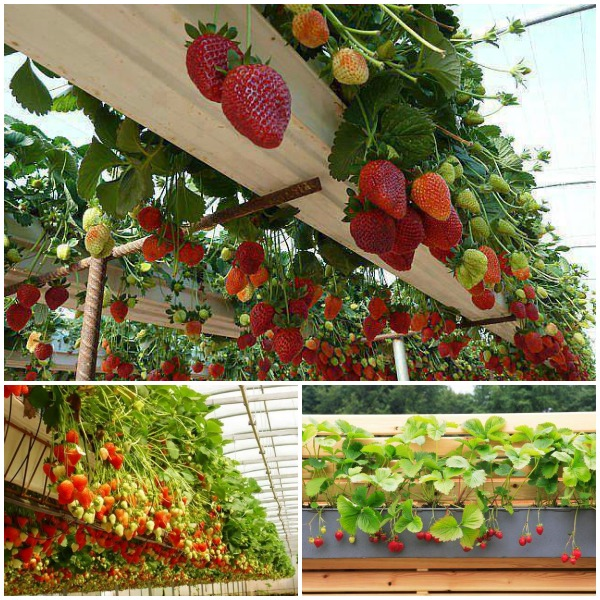 Wonderful diy rain gutter strawberry planter for Rain gutter planter box