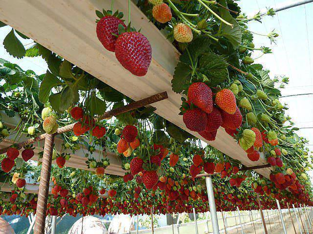 rain gutter strawberry planter1 Wonderful DIY  Rain Gutter Strawberry Planter