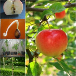 How to Grow Apple trees from Seed