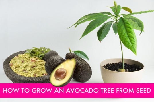 How To Grow Avocado From Seed 537x357 How to Plant an Avocado Tree from Seed