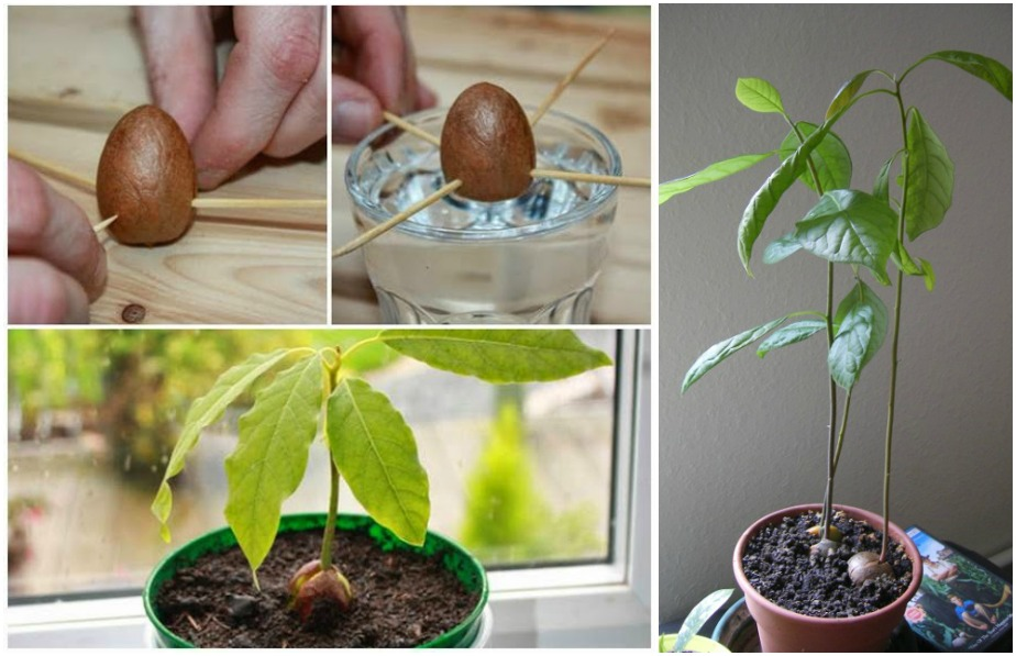 how to plant an avocado tree from seed