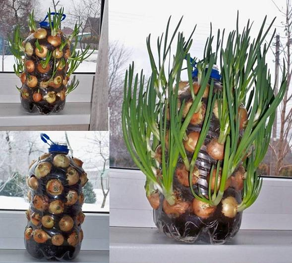 vertical window onions wonderfuldiy How to Grow Onions Vertically On Your Window Sill