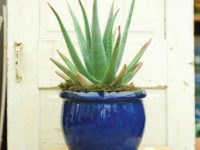 Aloe Vera 200x150 9 Houseplants for the Forgetful Gardener