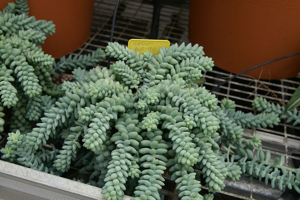 Burro Tail indoor plant