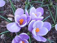 Crocus1 200x150 Spring Flowers to Grow in the Garden
