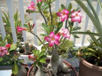 Desert Rose 200x150 9 Houseplants for the Forgetful Gardener