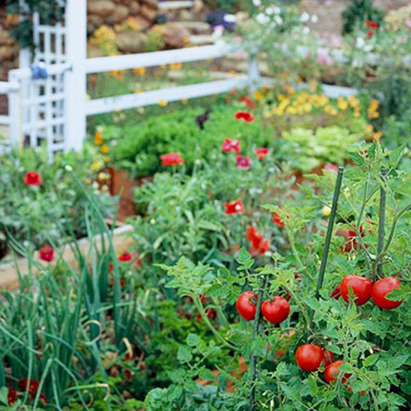 Fresh vegetables garden - tomatoes, onions