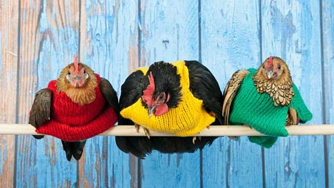 Give your hens a winter wardrobe upgrade with knitted sweaters Coop Trends: Cute and Colorful Knitted Chicken Sweaters