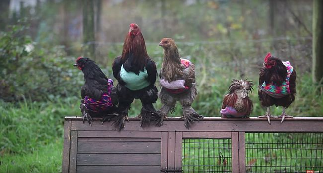 Rescued chickens dressed up in jumpers