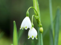 Summer Snowflake 200x150 Spring Flowers to Grow in the Garden
