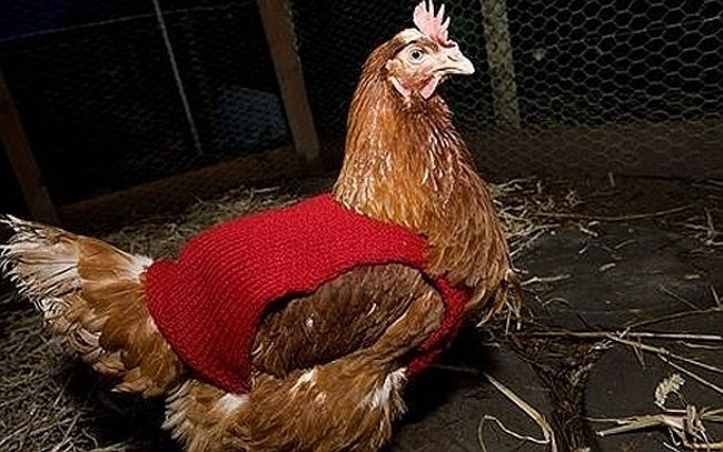 Warm hand-knitted chicken sweater