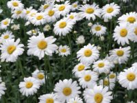 Chamomile 200x150 8 Grassland Medicinal Plants You Can Use