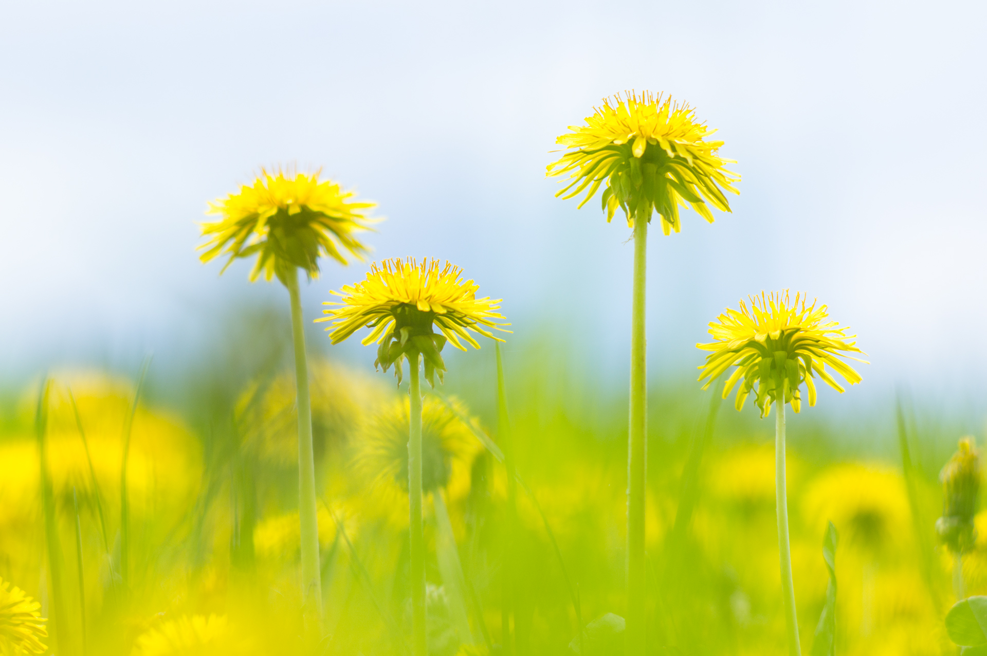 Dandelion Flowers in Meadow, very shallow DOF. Captured with 1969 Pentacon Lens 135/2,8