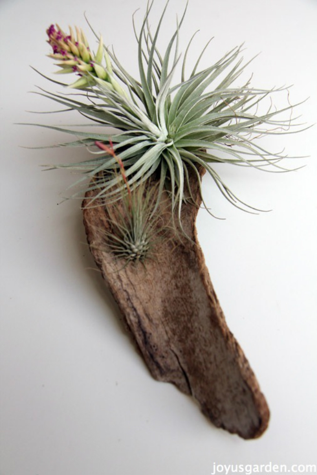 Driftwood Air Plant