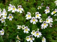 Eyebright 200x150 8 Grassland Medicinal Plants You Can Use