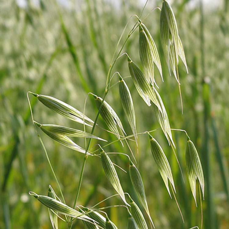 8 Grassland Medicinal Plants You Can Use