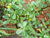Purslane 200x150 Weed Identification Guide to Help Maintain a Gorgeous Garden