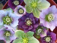 Hellebore 200x150 8 Plants That Will Thrive No Matter What