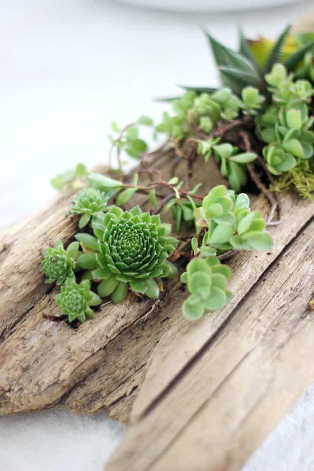 DIY driftwood succulent