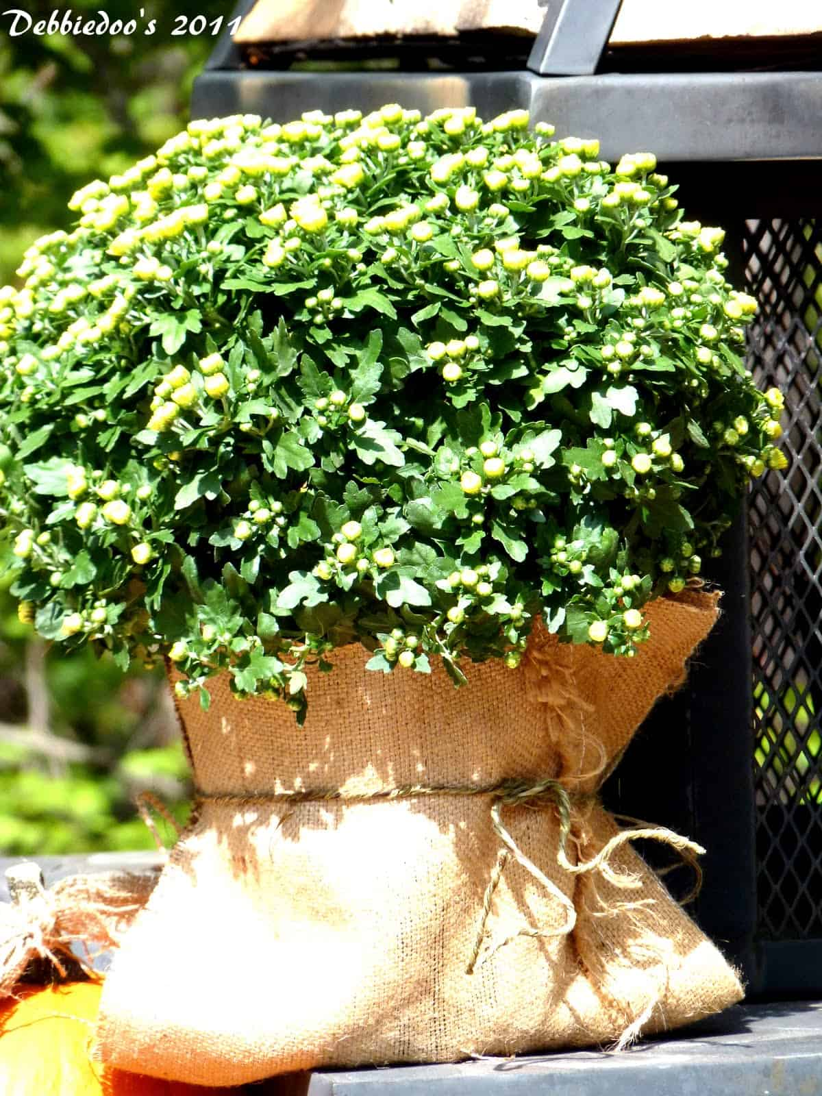 Burlap wrapped and tied shrubberies