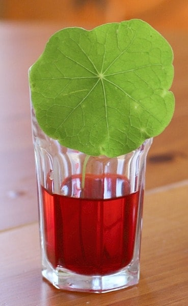 Leaf and coloured water experiment