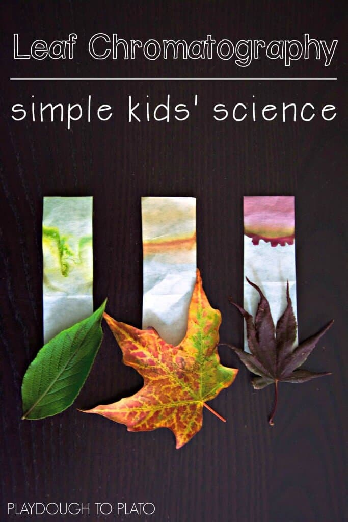 Leaf chromatography science experiment 15 Beautiful Fall Leaf Crafts to Try