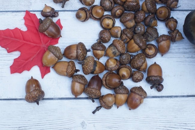 How to dry out acorns for crafting