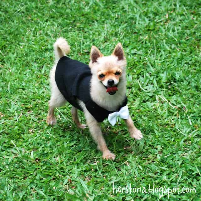 DIy doggie shirt with a bowtie Cute DIY Dog Clothes to Make Yourself